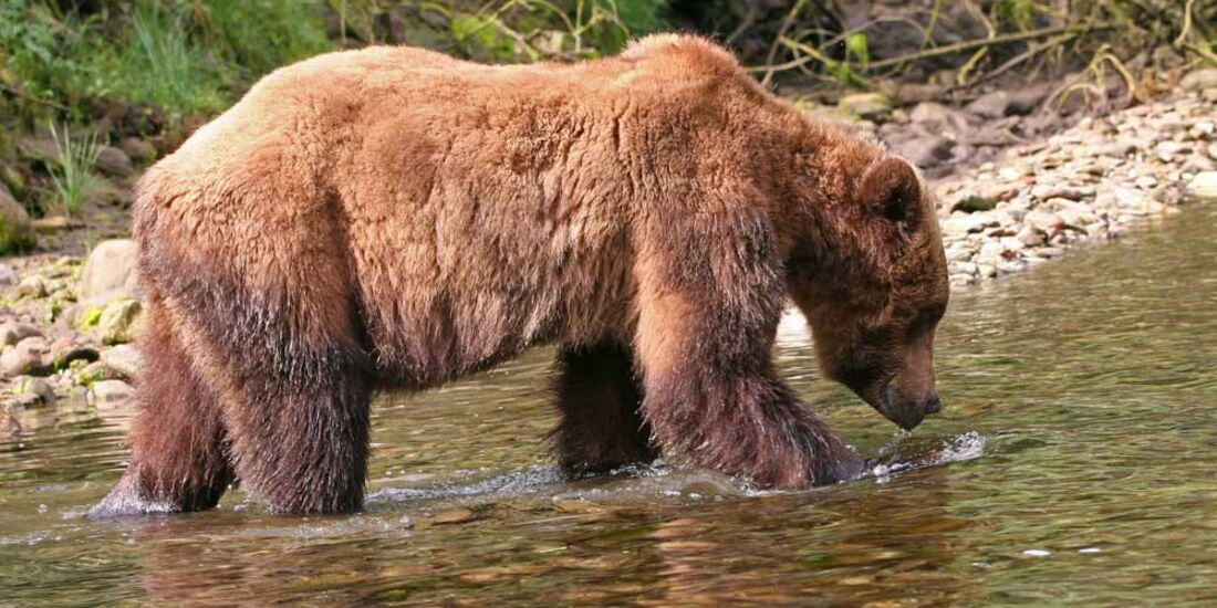 OD 0211 5 Tipps zum Bär Bären_pixelio.de (jpg)