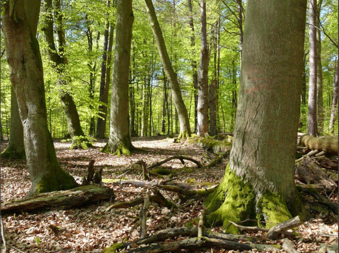 OD Baumwahl 2010 Serrahner-Buchenwald (jpg)