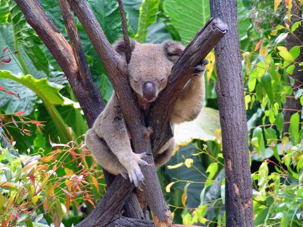 OD Koala im Wald