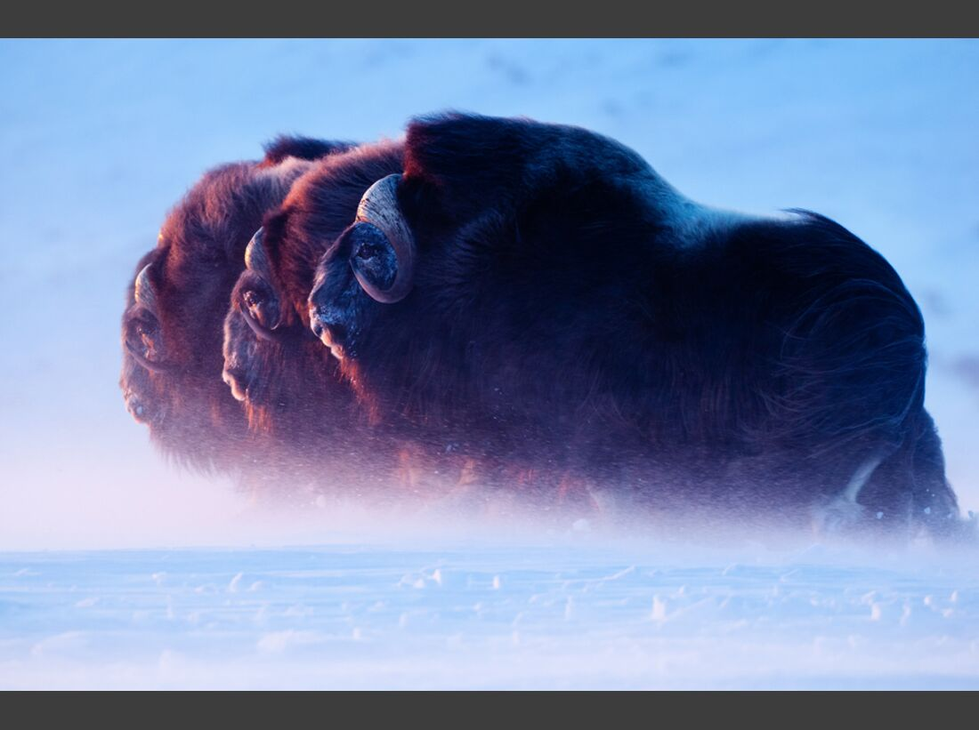 OD-Naturfotograf-2011-Florian-Schulz-Gebieter-der-Arktis (jpg)