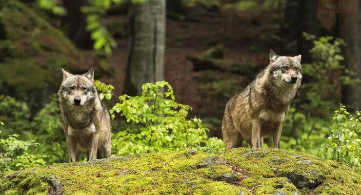 Wissenswertes über den Wolf
