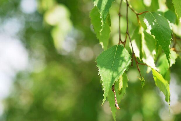 od-essbare-pflanzen-Haengebirke_COLOURBOX4041635.jpg