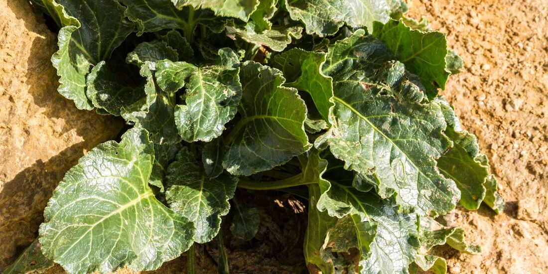 od-essbare-pflanzen-Wilde_Ruebe_shutterstock_521534614.jpg